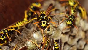 Essex Is Experiencing a Plague of Wasps